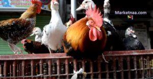 أسعار الدواجن والكتاكيت والبط اليوم في مصر 28 أغسطس  الاستقرار يسود السوق بعد فترة من التذبذب