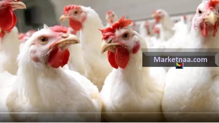 أسعار الدواجن والبط اليوم الخميس 1 أغسطس في الأسواق المصرية| المؤشرات تُشير إلى الاستقرار