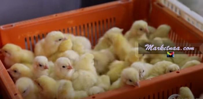أسعار الكتاكيت البيضاء اليوم  الاثنين 10-8-2020 بورصة الكتاكيت المصرية بيانات المزارع والشراكات